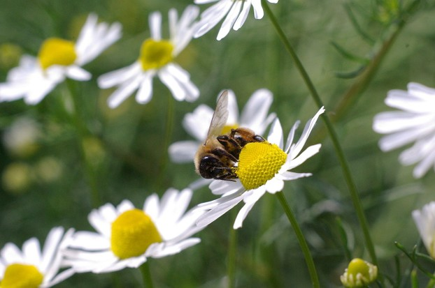 honeybee on German chamomile (Matricaria chamomilla) flower