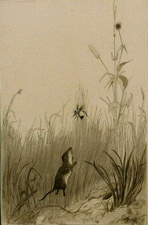 """Rodent and Bee"": ca. 1890 - 1932 charcoal drawing by Charles Livingston Bull (May 1874 - March 22, 1932): Cabinet of American illustration Collection"