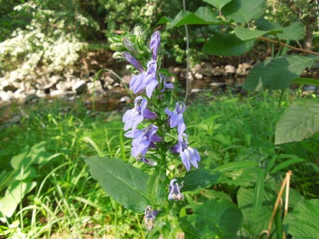 Great blue lobelia in the wild, Cheltenham Township, PA