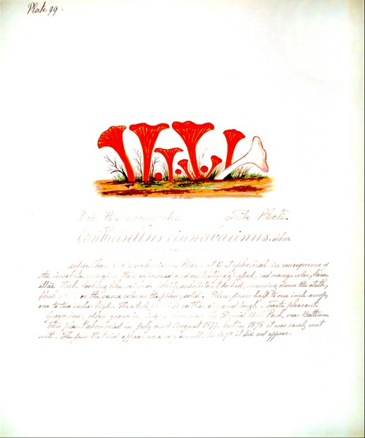 "Mary Banning, ""Fungi of Maryland"" (unpublished manuscript, c.1878)"