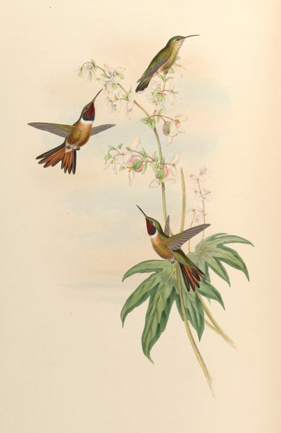 John Gould, A monograph of the Trochilidae, or family of humming-birds, Supplement (1880)
