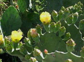 Prickly Pear Cactus With Blooms