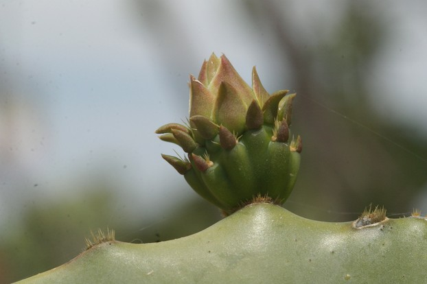 Prickly pear flower bud close up