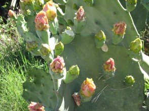 Prickly pear cactus with flower buds