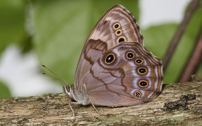 Northern Pearly-Eye, Enodia anthedon