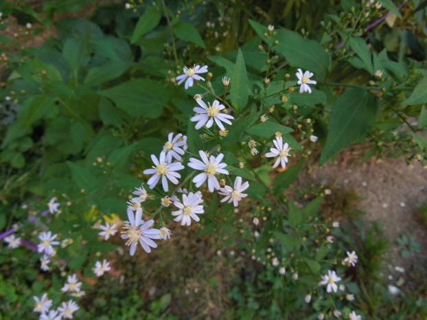 Blue Wood Aster in Bloom