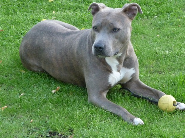 American Staffordshire Terrier, nicknamed as Am Staff by American Kennel Club