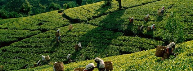 Women Working in Tea Plantations