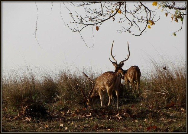 Spotted Deer in Forests of Madhya Pradesh.
