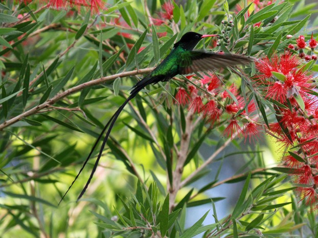 redbilled streamertailed doctor birds  trochilus polytmus   hummingbirds native only to jamaica