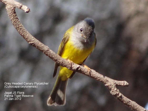 Gray Headed Canary Flycatcher