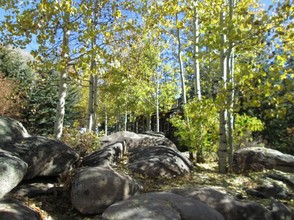 Aspens in Betty Ford Botanic Gardens