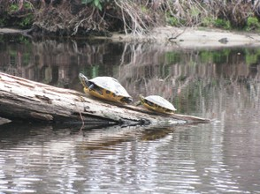 Turtles soaking up the warm sun in the Okefenokee Swamp.