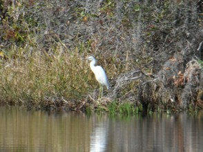 An egret warily watches travelers passing by.