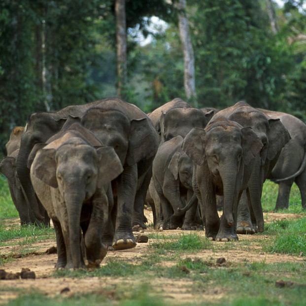 PLoS Biology Issue Image | Vol. 1(1) October 2003: Borneo elephants, a genetically distinct taxon native to Borneo.