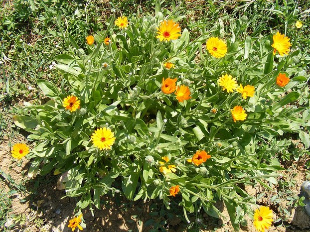 Calendula tea can be used for gargles