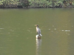Anhinga sitting out in the lake.
