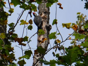 Pileated Woodpecker hard at work
