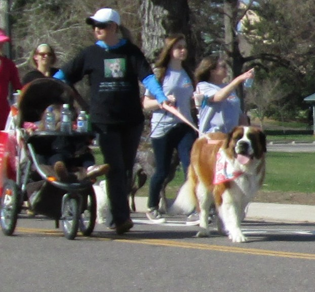 St. Bernard in Furry Scurry Parade
