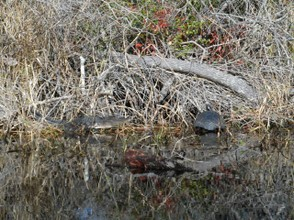 A pair of sometime enemies share a good sunning spot along the Suwannee Canal