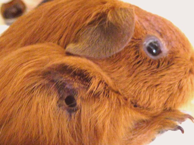 Help - My Guinea Pig Has An Abscess