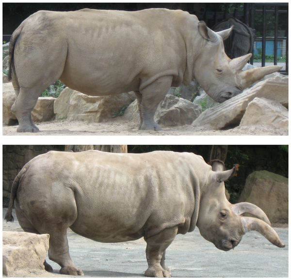 "Colin Groves et al., ""The Sixth Rhino"" (2010), Figure 9"