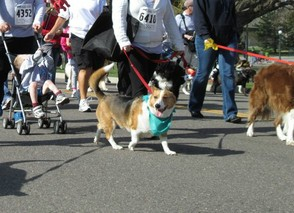 One of the Corgis in the Event One Year