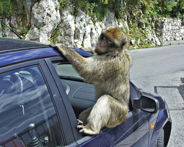 Gibraltar with its Mischievous Macaques