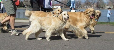 Slew of Goldens