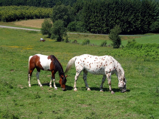 Pinto (left) with leopard-spotted Appaloosa (right)