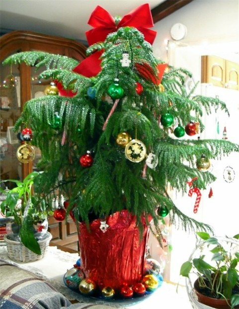 Our First Norfolk Island Pine Decorated for Christmas