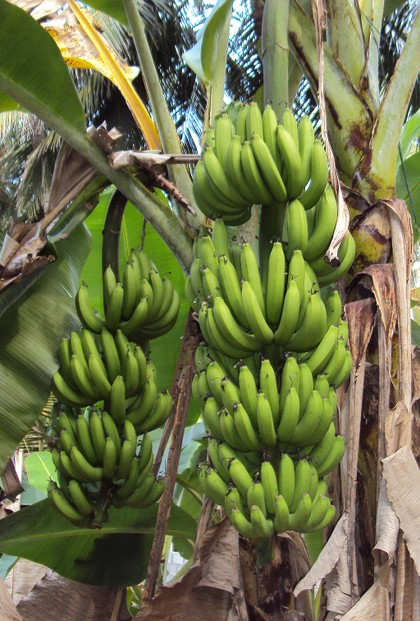 Green Plantains In Banana Plant