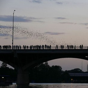 Bats emerging from the Congress Ave bridge in Austin, Texas