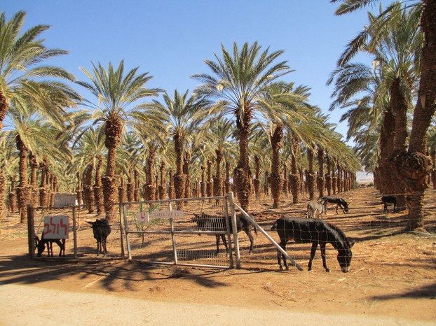 Donkeys and date palm trees in Kibbutz Eilot, Aravah Valley, southernmost Israel