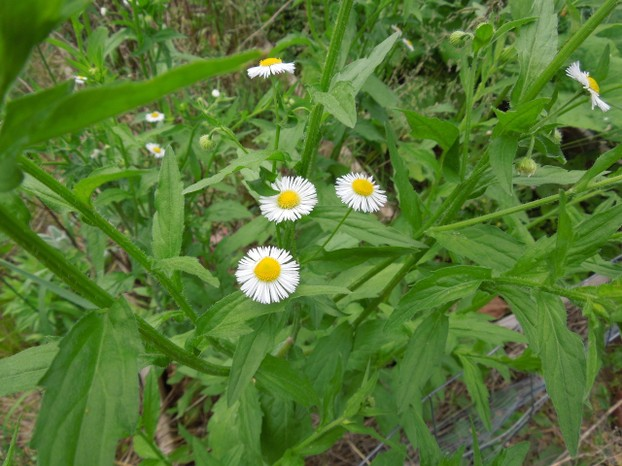 This native flower, fleabane, Erigeron annuus, came up in a vacant lot in my neighborhood.