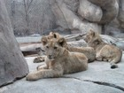 Three Baby Royal Lions
