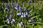 Time it just right and you can enjoy the over 40,000 Spanish bluebells in bloom under a woodland canopy.