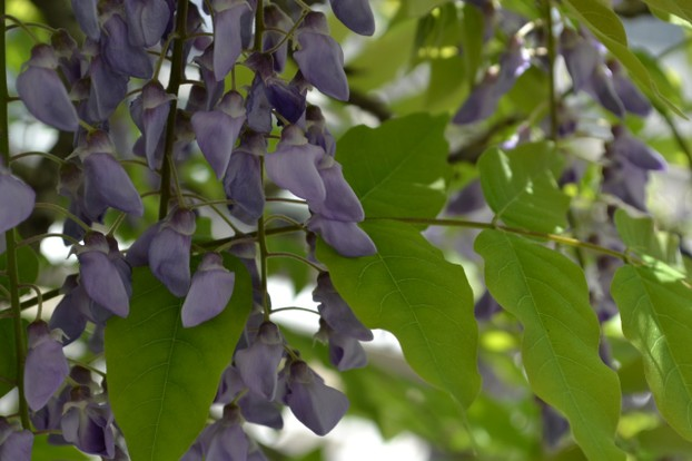 Elegant cascading wisteria blossoms ...even on the incredible Wisteria Bonsai tree!