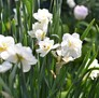 Double daffodils are just one variety of beautiful blooms in Fort Tyron Park.