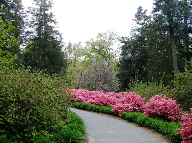 A Pathway at Winterthur lined by their famous azaleas.