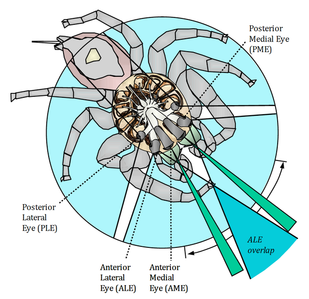 Diagram of spider's visual fields as viewed from above. Function of small posterior medial eyes (PME) is unknown.
