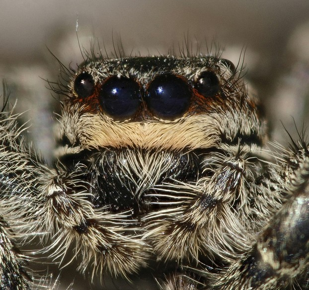 closeup of female Marpissa muscosa