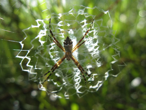 Function of orb-weaver spiders' stabilimentum is unknown but is hypothesized to attract prey and to minimize web damage.