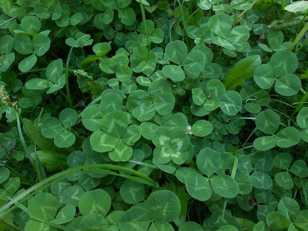 Where to find four leaf clover?