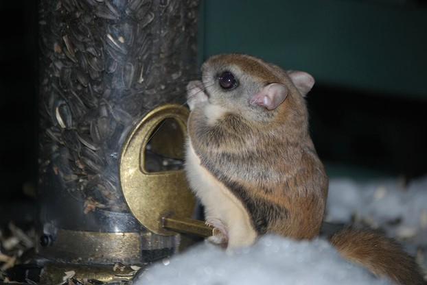 Southern Flying Squirrel (Glaucomys volans) snacks on sunflower seeds at birdfeeder.