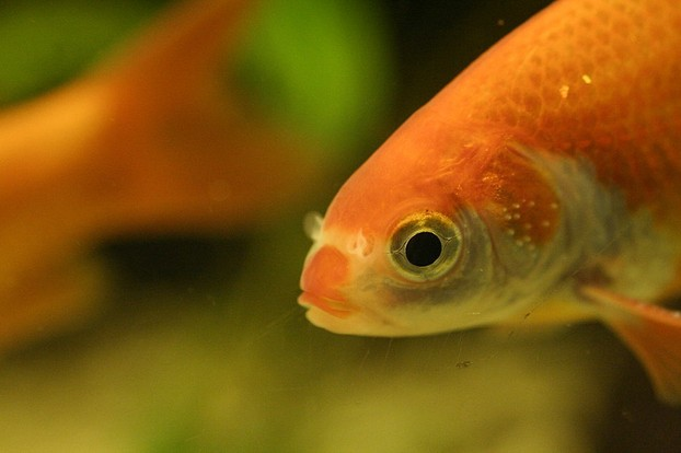 goldfish with white spots on gill covers