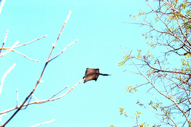 A Southern flying squirrel (Glaucomys volans) gliding.