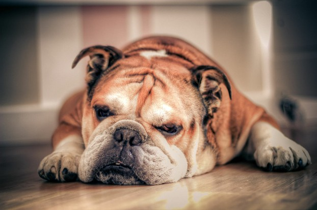English bulldog sleep