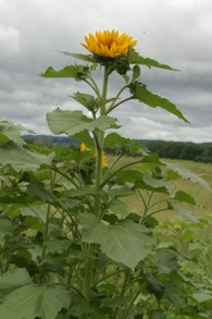 Single Giant Sunflower