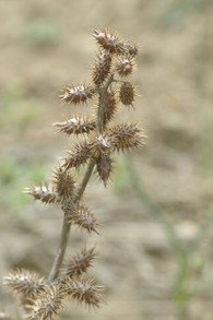 Dried cocklebur seeds